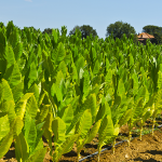multi-sourcing-of-tobacco-to-meet-global-demand-a-strategic-approach-to-producing-tobacco-for-international-clients